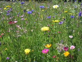 IMG_7027-bloemen-kleur-2013-veld-wei-gras